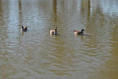 ducks  swimming  on  pond  on  bright  day Stock Photo