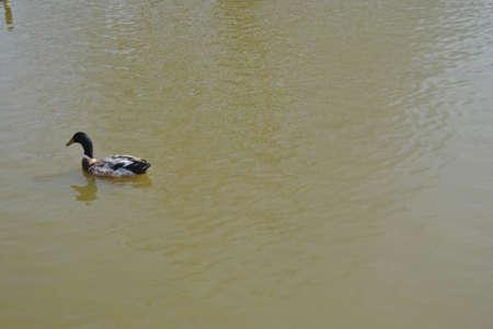 single   mallard  duck  swimming  on  pond Stock Photo - 17597122