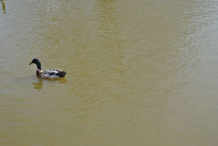 single   mallard  duck  swimming  on  pond Stock Photo