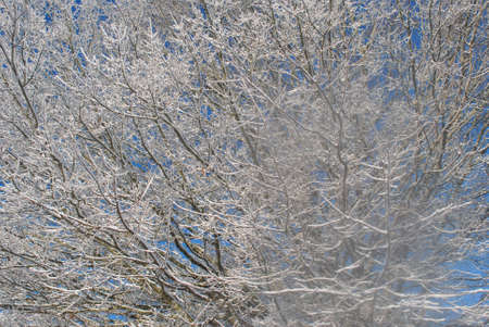 frosty  tree  with  blue  sky