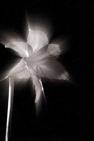 backlight flower Stock Photo - 6589257
