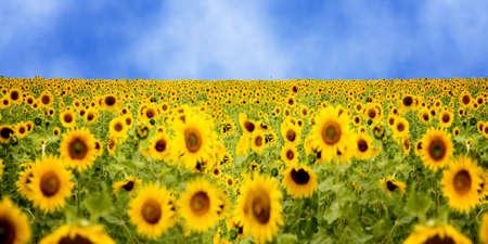 sunflower field under summer light of the blue sky photo