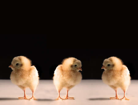 three newborn chick brothers searching the place photo