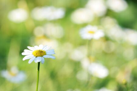 Flower of a camomile in the afternoon on the dim background Stock Photo - 3385002