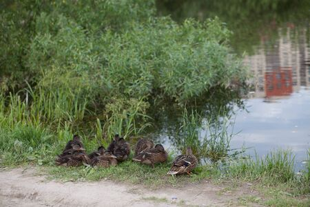 Duck with ducklings resting in the grass on the lake shore huddled in a flock