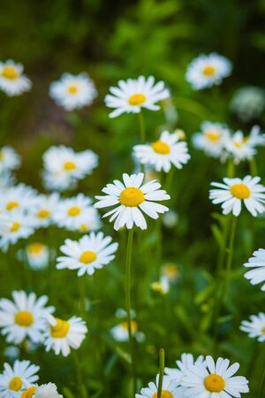 Beautiful large blossoms of daisies in the light of the setting sun in the green grass