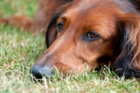 Tired Dachshund resting on the grass Stock Photo