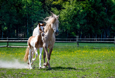 Foal with a mare on an afternoon walk