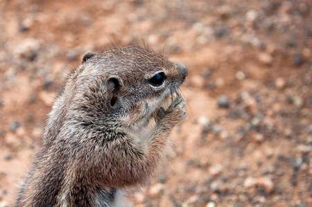 Desert squirrel on the island of Fuerteventura
