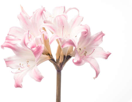 Roze lelie op een witte achtergrond, Verrassing Lilly, Lycoris Squamigera