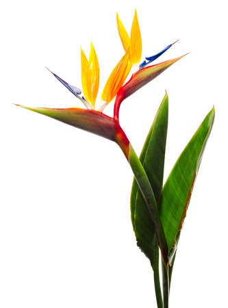 bird of paradise: Bird of Paradise Flowers Isolated on a White Background