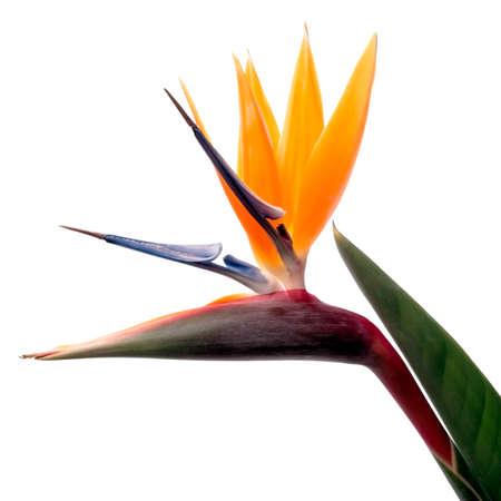 Bird of Paradise Bloem Geà ¯ soleerd op een witte achtergrond Stockfoto