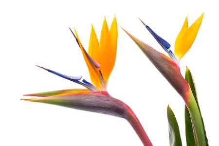 ave del paraiso: Ave del paraíso flores aisladas sobre un fondo blanco Foto de archivo