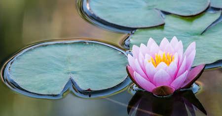 평화로운 자연 환경에서 핑크 수련