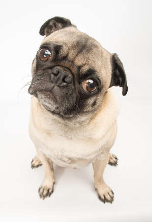 Adorable Fawn Pug Dog  photo