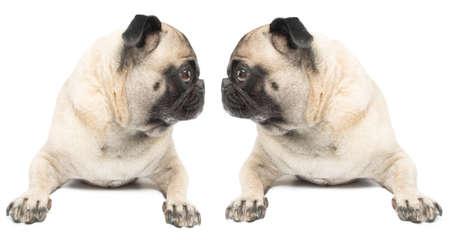 Adorable Twin Pug Dogs