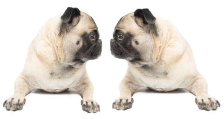 Adorable Twin Pug Dogs  photo