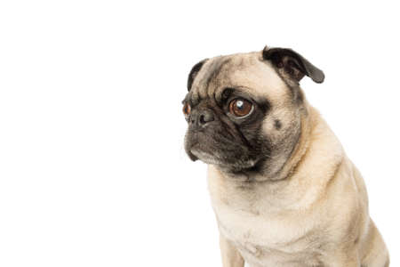 Schattige Fawn Pug Hond