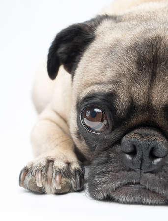 Adorable Fawn Pug Dog