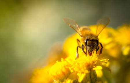 bee on flower: Honey Bee on a Yellow Flower, Nature Abstract