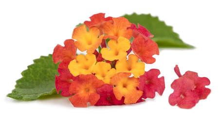 Lantana Flowers Stockfoto