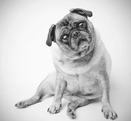 Schattig Pug Hond Stockfoto
