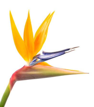 Bird of Paradise bloem die op een Witte