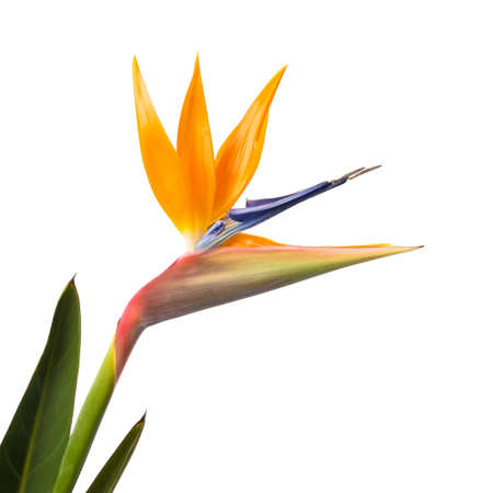 Bird of Paradise Bloem die op een Witte Stockfoto