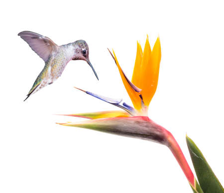 Ruby throated Hummingbird en Bird of Paradise bloem geïsoleerd op een witte Stockfoto