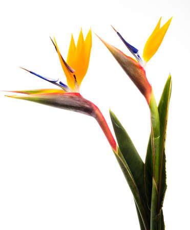ave del paraiso: Bird of Paradise Flores aisladas en un blanco Foto de archivo