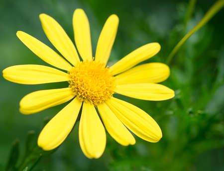 Gele Daisy Bloem in een Natuur Tuin