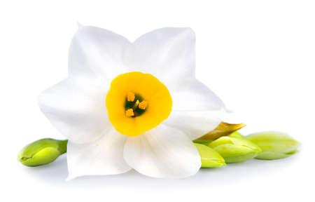 Witte bloem op een witte achtergrond Geïsoleerde, Daffodil Stockfoto