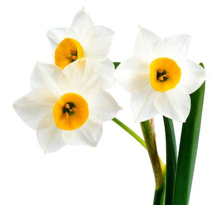 白い背景に白い花の分離、水仙