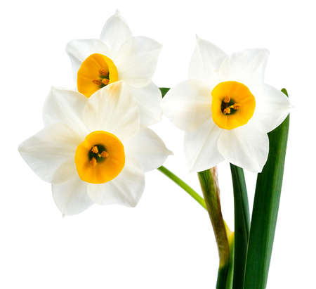 White Flowers on White Background Isolated, Daffodil