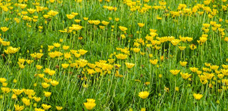 Gele Daisy Flower Garden, Natuur Tuin