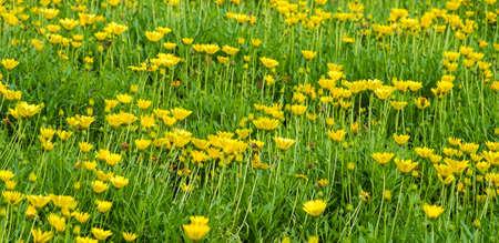 Yellow Daisy Flower Garden, Nature Garden  Stock fotó
