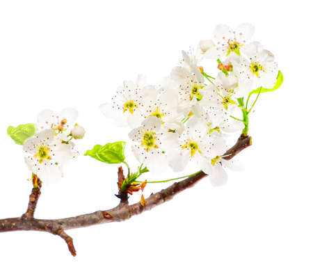 White Flowers on a Branch Isolated on a White Background Stock fotó