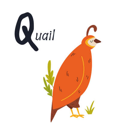 Funny image of a quail and letter Q. Zoo alphabet collection. Vector illustration