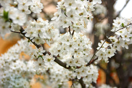 Apple tree with white flowers
