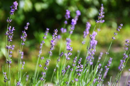 Lavender Flowers in the garden Banco de Imagens