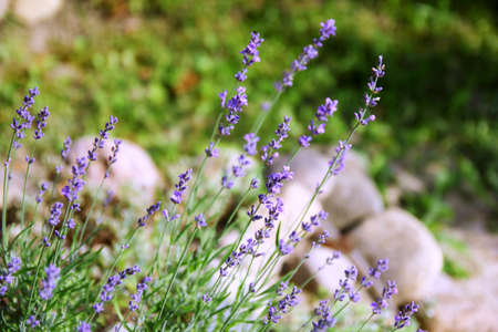 Lavender Flowers in the garden Banco de Imagens - 62676202