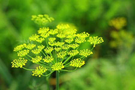 foeniculum vulgare: Dill, macro photo of plant Stock Photo