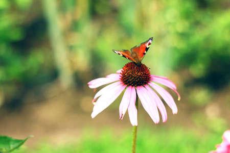 Purple echinacea in the garden
