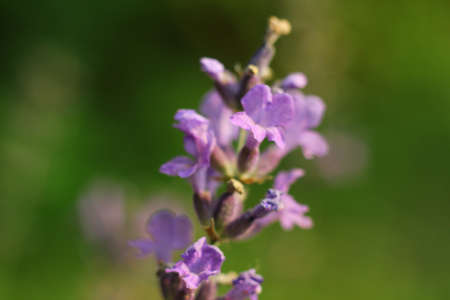 Lavender Flowers in the garden Stock Photo