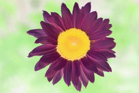 Purple daisy in watercolour tones. Photo
