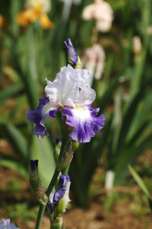 florentine: Irises blossoming in a garden, Italy. Stock Photo