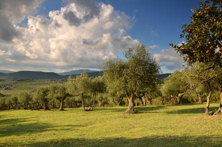 Olive trees in the Tuscan Countryside, Chianti, Italy Stock Photo