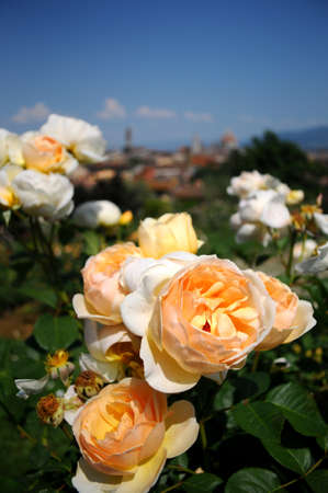 love dome: Yellow roses at the Rose Garden, with Florence on Background. Italy.