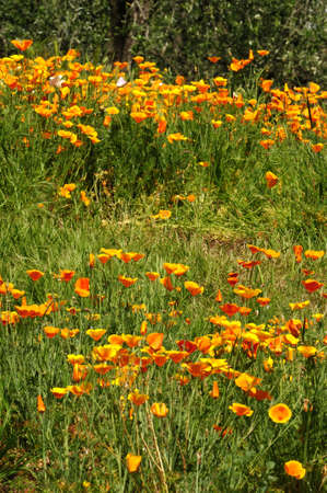 Blooming Mexican Gold Poppies in a garden in Florence