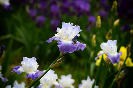 Iris flowers in blossom in a famous garden near Florence. Italy. Stock Photo